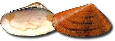 Cadelucha