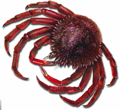 Spinous spider crab