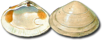 Solid surf clam