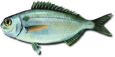 Blackspot(=red) seabream