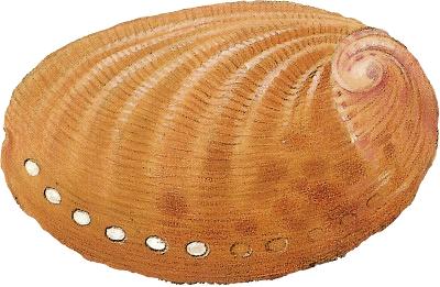 Oreja de mar