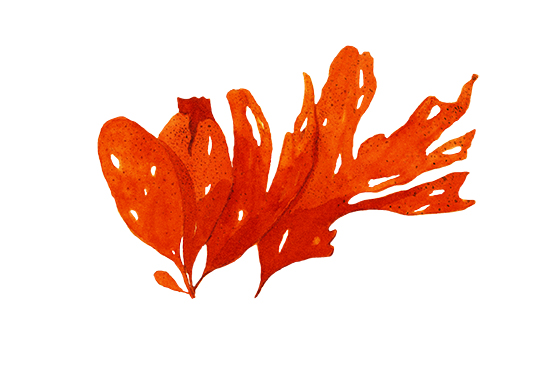 Algas vermellas