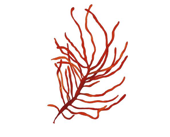 Dumontia contorta