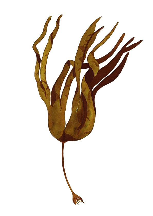Laminaria hyperborea