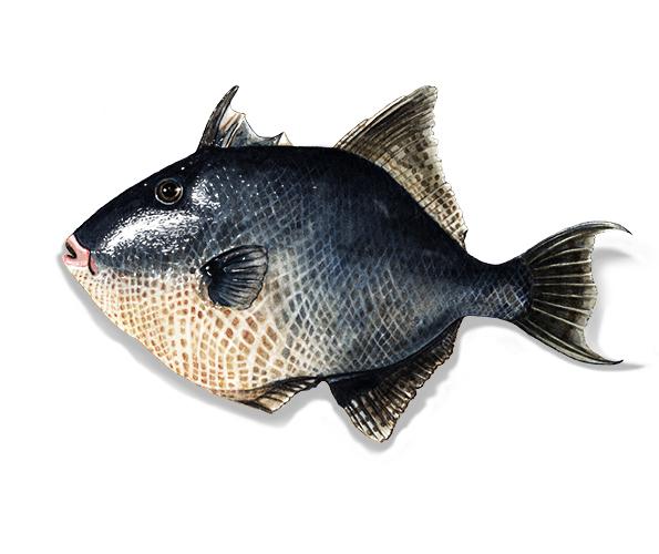 Peixe porco